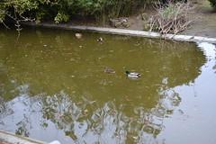 DSC_0699 (Stphane D) Tags: paris france lac parc canard montsouris fvrier parcmontsouris 2011 february2011