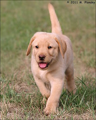 Yellow Lab Puppy (mplonsky) Tags: dog pet yellow puppy lab labrador canine pooch plonsky