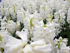 Hyacinth_White (地景花海區)