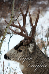 Mule Stag Profile (Alyce Taylor) Tags: park winter snow nature animal stag wildlife lakes deer national taylor alyce waterton antler
