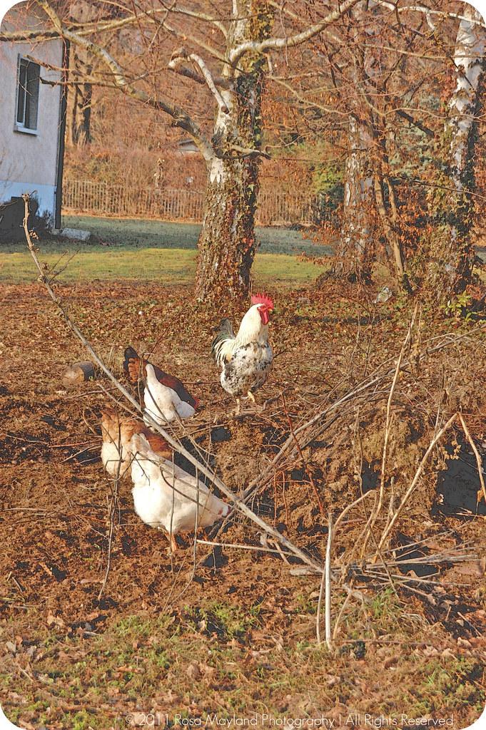 Hens 1.2 bis