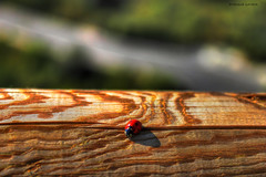 Ladybird hdr (Enrique Gandia) Tags: wood winter naturaleza canon insect eos madera ladybird animales invierno hdr insecto mariquita 500d canonistas enriquegandia