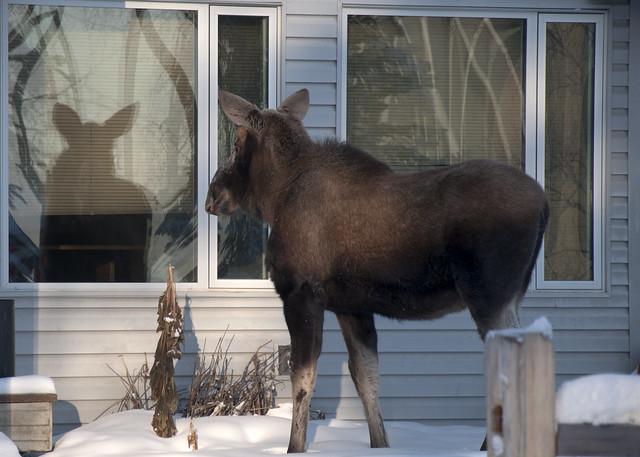 I am a pretty moose