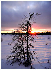 Ice-Covered Tamarack (Orion 2) Tags: sunset ice dusk snowshoeing tamarack peatbog supershot mygearandme mygearandmepremium