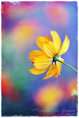 Awaken (maisondegrace) Tags: summer orange flower golden bokeh pastel depthoffield cosmos macroflower persephonesgarden