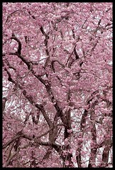 Dance of Sakura...... (Riesling Dream) Tags: park travel pink flowers plant color castle history japan cherry blossom april cherryblossom  sakura  tress  himejicastle          canon24105mmf4lis canon5dmarkii