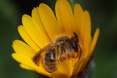 Minerbee sleeping in a wild calendula flower (ronibiza) Tags: flower macro nature insect minerbee top20flowerswithbugs