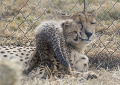 National Zoo's Cheetah Cubs Go Outside for the First Time (Smithsonian's National Zoo) Tags: usa va nationalzoo cheetah cubs amani crc frontroyal cheetahcubs zazi phylumchordata kingdomanimalia classmammalia ordercarnivora familyfelidae crossfoster scbi smithsonianconservationbiologyinstitute genusacinonyx speciesjubatus