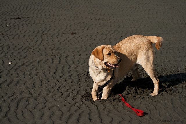 labrador retreiver digging in the sand