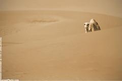 . . . H E L L O . . . (BarounPhoto.com) Tags: canon camel 7d kuwait kuwaiti q8 deseart 400mm kuwaity jahra abdulwahab baroun alsalmi barounphotocom