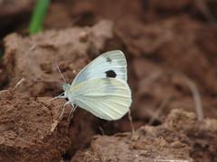 Day 57/365 (ah33l) Tags: pakistan butterfly sony 365 islamabad roseandjasminegarden gardenavenue