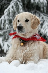 Snowy close up (Guido Havelaar) Tags: dog chien cute co dogs cane goldenretriever puppy hound perro hund pup alittlebeauty grcn caneimmagini fotosdoco fotosdelperro