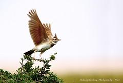 "Crested Lark (Galerida cristata) (suhaaz Kechery) Tags: lark galeridacristata galerida photographycanon 60d ""crested kechery sigma150500dgapoos ""suhaaz cristata"" lark"" ""galerida"