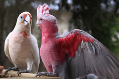 Guess who's coming to dinner? (marj k) Tags: bird nsw centralcoast galah toukley longbilledcorella cacatuatenuirostris psittacidae 5531