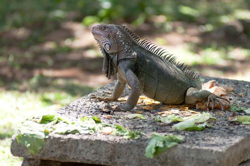 King Iguana