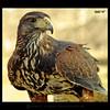 Harris (m@®©ãǿ►ðȅtǭǹȁðǿr◄©) Tags: barcelona españa canon natura catalunya tamron harrishawk águila ripollet falconiformes parabuteounicinctus cetrería canoneos400ddigital avesrapaces m®©ãǿ►ðȅtǭǹȁðǿr◄© águiladeharris marcovianna tamron18200mmf3563diiixr accipítridos