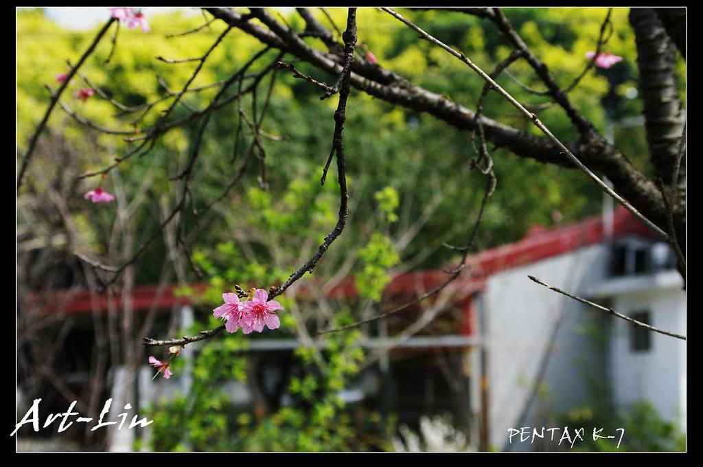 20110228 湖口隨拍 ~櫻花&梅~