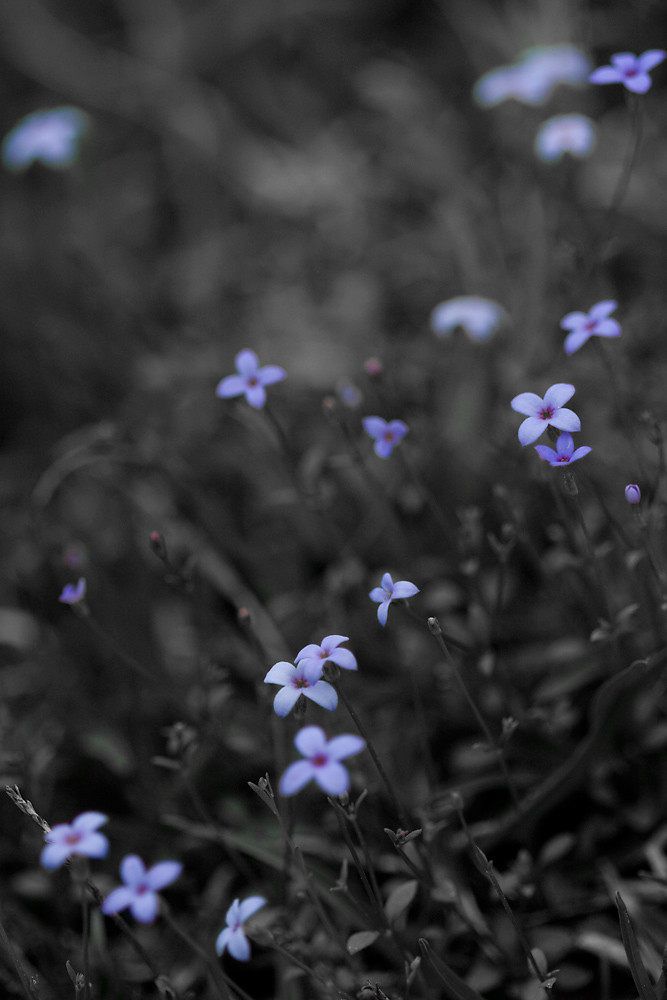 Tiny Blue Wildflowers
