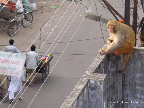 Monkey in Varanasi, India