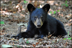 Black Bear Cub (Roy Brown Photography) Tags: bear favorite black mountains georgia favorites american albany fav favs northgeorgia dougherty gilmer ellijay ursusamericanus roybrown roybrownphotography