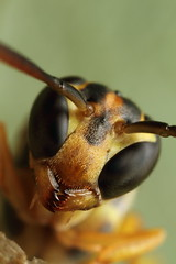 Wasp portrait above nest (Gustavo Mazzarollo) Tags: life new brazil portrait detail macro eye nature yellow closeup canon insect photography compound nest jaw extreme protection riograndedosul amarela hymenoptera serrated mandibles mpe65mm geo:country=brazil taquarivalley