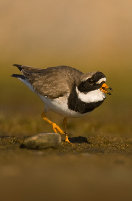 Ringed Plover - MGL1965
