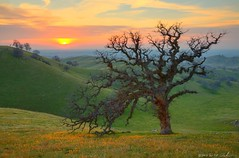Sierra Savannah Sunset (DM Weber) Tags: california flowers sunset foothills landscape oak hdr sierranevadas coth fiddlenecks treesubject eos5dmkii psa148 dmweber iconicoak