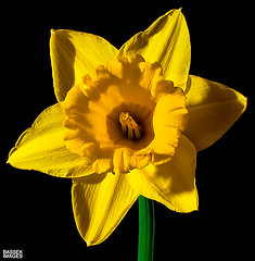 Spring Daffodil (pbassek) Tags: flowers black flower color colour green yellow 35mm easter spring stem nikon colours background flash sb600 vivid yellowflower daffodil dafodill f18 speedlight stalk trigger daffodill lent d40 nikor yellowdaffodil fotga