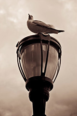 The Lookout (bfurbush) Tags: nyc newyorkcity urban newyork bird water lamp architecture port canon photography unitedstates manhattan seagull lookout batterypark lamppost perch gotham tone batteryparkcity splittone 24105 gothamcity canon24105f4l canon24105f4lis 24105f4l canoneos5dmarkii canon5dmarkii brianfurbush bfurbush brianfurbushphotography