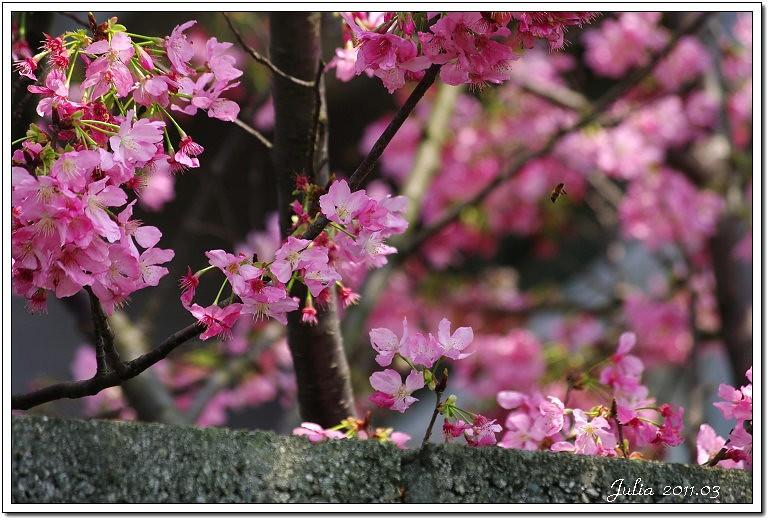 櫻花 (4)