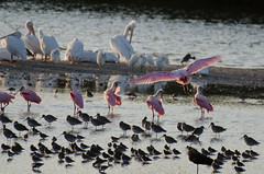 Roseate Spoonbills and White Pelican Photo