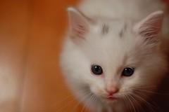 DSC_0009 (*lalalaurie) Tags: thanks kittens kitties ittybittykittycommittee lauriecinotto ibkc themagnificentmedleyfamily pleasedontusemypictureswithoutseekingmypermission cardsibkc