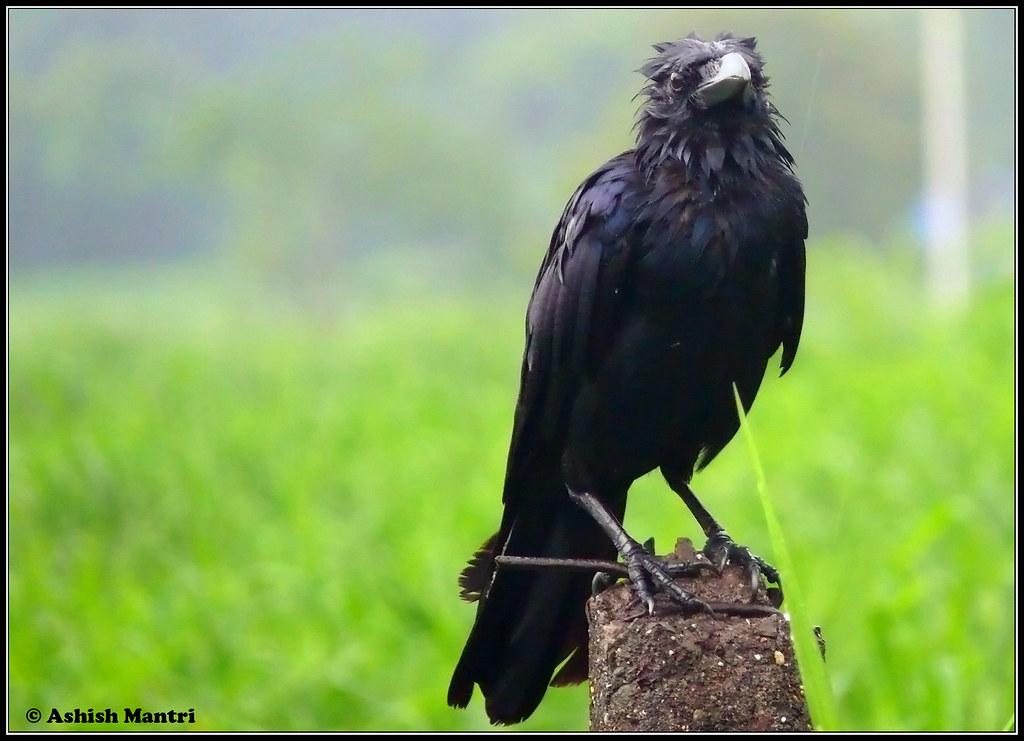 P1030518Wet Crow