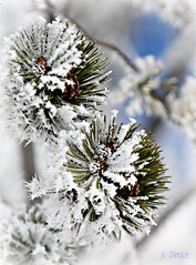 Two on Blue (Sheree (Here intermittently)) Tags: winter snow tree pine frost evergreen needles spruce