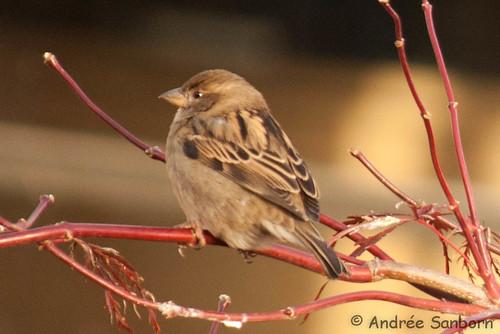Connecticut sparrows  -20.jpg