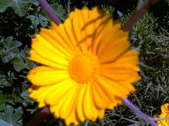 Triffa Milli   (Jamal Elkhalladi) Tags: flowers nature fleurs morocco maroc milli  hassi   berkane   triffa