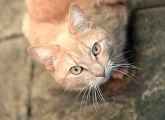 Spotlight on this sweet kitty (+2) ({katesea}) Tags: cute cat 50mm kitty brando hcs d90 nikond90 happyclichesaturday scavengerhuntpetsedition