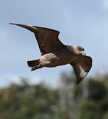 Chilean Skua in flight (Liam Quinn) Tags: patagonia bird argentina tierradelfuego birdinflight skua islamartillo chileanskua stercorariuschilensis martilloisland