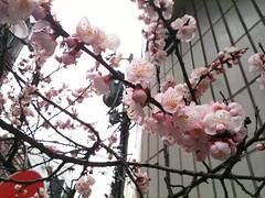 今朝の桜の花 (2011/3/22)