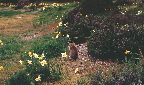 kitty in the daffodils