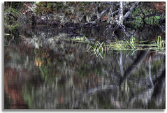 River dancing (walla2chick) Tags: usa tree oregon reflections coast weeds or hdr twisty siltcoos photomatix twistytree siltcoosriver 7164and2