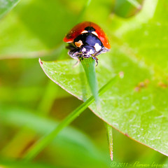cocci² (flo74.) Tags: macro nature bug garden insect square jardin insects ladybug soe insecte insectes carré coccinelle shieldofexcellence
