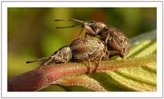 Outdoor Sex (Loe Giesen) Tags: weevil outdoorsex snuitkever