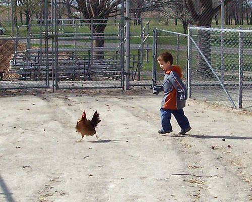 Chasing Chickens 1