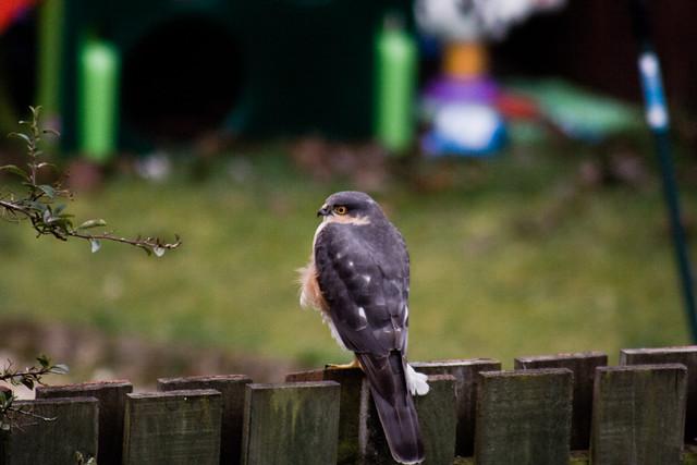 250311_ Sparrowhawk #6