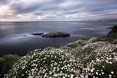 one in a hundred (max vuong) Tags: california flowers cliff white seascape max nature clouds daisies landscape spring san long exposure blossom blossoms diego lajolla cliffs pines bloom torrey childrenspool lenspath