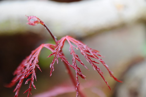 dwarf japanese maple tree pictures. dwarf japanese maple tree pictures. We have a Dwarf Japanese Maple