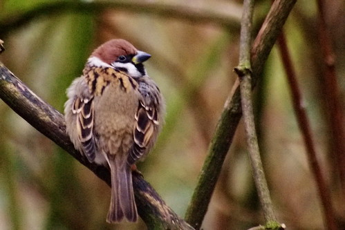 tree sparrow / ringmus