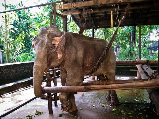 Больной слон