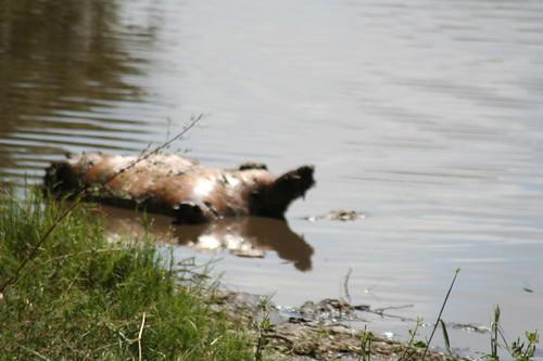 hippo noshin'